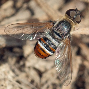 A bee fly, Hemipenthes inops.