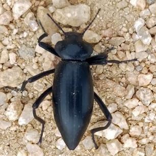 A darkling beetle, Eleodes acuticaudus