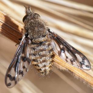 A bee fly, Conophorus fenestratus