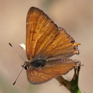 Tailed Copper (Lycaena arota)