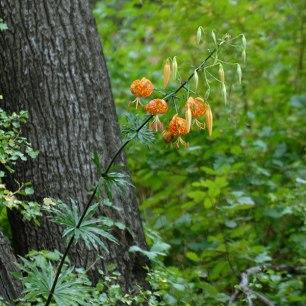 Humboldt Lily (Lilium humboldtii)