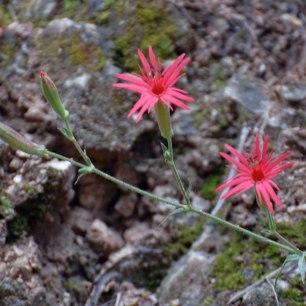 Mexican Pink (Silene laciniata subsp. laciniata)