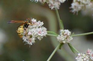A paper wasp (Polistes aurifer) on California Buckwheat (Eriogonum fasciculatum))