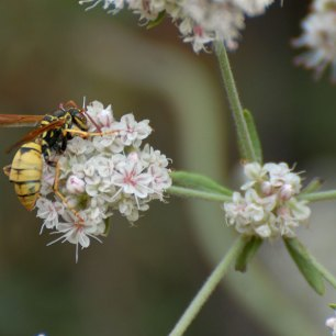 A paper wasp (Polistes aurifer) on California Buckwheat (Eriogonum fasciculatum))