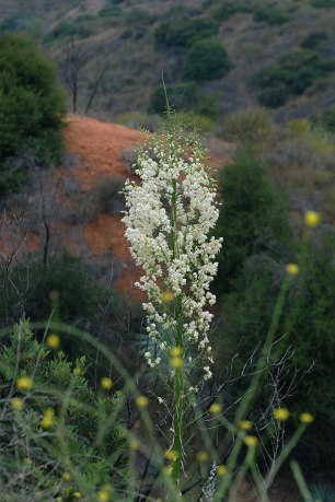 Chaparral yucca (Hesperoyucca whipplei)