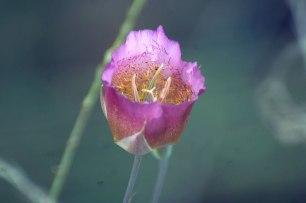 Mariposa Lily (Calochortus sp., perhaps C. plummerae?)