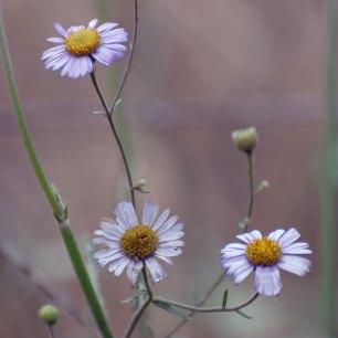 Leafy Daisy (Erigeron foliosus)