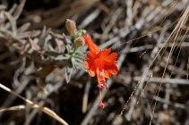 California Fuchsia (Epilobium canum subsp. canum). ©Nancy Hamlett.