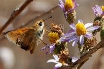 A Woodland Skipper (Ochlodes sylvanoides) nectaring on California Aster (Corethrogyne filaginifolia). ©Nancy Hamlett.