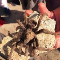 A dead tarantula found by a hiker.