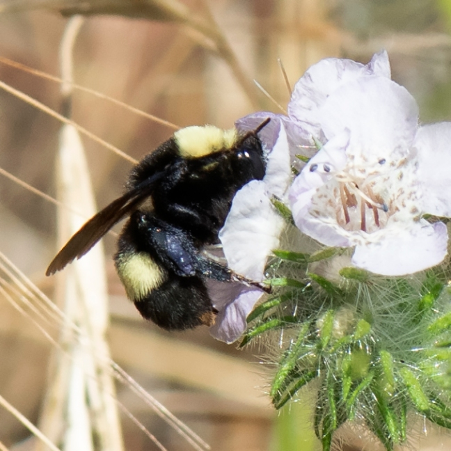 CHWP Bumble Bee potential endangered species candidate