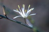 Wavyleaf Soap Plant (Chlorogalum pomeridianum). ©Nancy Hamlett.