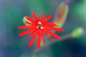 Cardinal catchfly (Silene laciniata). ©Nancy Hamlett.