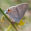 Gray Hairstreak (Strymon melons) nectaring on Deerweed (Acmispon glaber). ©Nancy Hamlett.