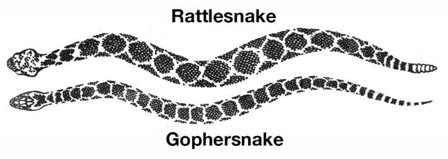 rattlesnake-gophernake.jpg